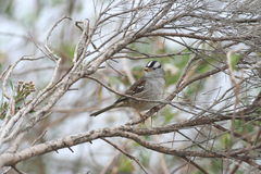 White-crowned Sparrow (Zonotrichia leucophrys). A male White-crowned Sparrow (Zonotrichia leucophrys Royalty Free Stock Images