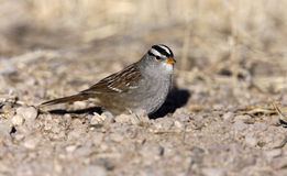 White-crowned sparrow, Zonotrichia leucophrys. Male on ground Stock Photo