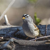 White-crowned Sparrow Zonotrichia leucophrys. The male White-crowned Sparrow Zonotrichia leucophrys is searching for food around the dead branches on the ground Royalty Free Stock Photos