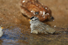 White-crowned sparrow, Zonotrichia leucophrys. Male in water Royalty Free Stock Image