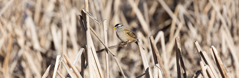 White-crowned Sparrow - Zonotrichia leucophrys Royalty Free Stock Image