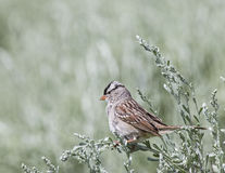 White-crowned Sparrow Zonotrichia leucophrys. Perches in the young green sagebrush while searching for flying insects to capture in flight Royalty Free Stock Images
