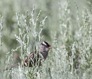 White-crowned Sparrow Zonotrichia leucophrys. White-crowned Sparrow perches in the young green sagebrush while searching for flying insects Royalty Free Stock Photo