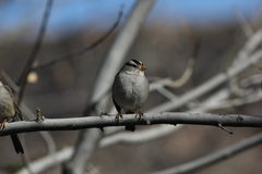 White-crowned sparrow (Zonotrichia leucophrys) Stock Image