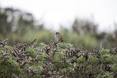 White-Crowned Sparrow (Zonotrichia leucophrys). Spotted outdoors Stock Photography