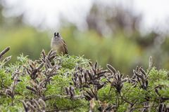 White-Crowned Sparrow (Zonotrichia leucophrys). Spotted outdoors Royalty Free Stock Photography