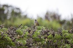White-Crowned Sparrow (Zonotrichia leucophrys). Spotted outdoors Stock Photo