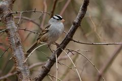 White-crowned Sparrow - Zonotrichia leucophrys. White-crowned Sparrow perched on a branch in a thicket. Lynde Shores Conservation Area, Whitby, Ontario, Canada royalty free stock photography
