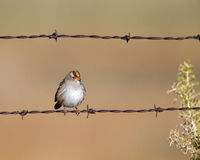 White-crowned Sparrow, Zonotrichia leucophyrs. Immature White-crowned Sparrow on a barbed-wire fence in fall Stock Image