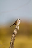 White-crowned Sparrow, Zonotrichia leucophyrs. White-crowned Sparrow atop a fencepost in southern Colorado Royalty Free Stock Photo