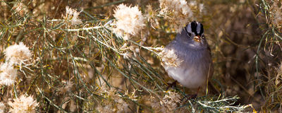 White-crowned Sparrow, Zonotrichia leucophyrs. White-crowned Sparrow eats seed in a chamisa bush Stock Photography