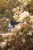 White-crowned Sparrow, Zonotrichia leucophyrs. White-crowned Sparrow eats seed in a chamisa bush Royalty Free Stock Photography