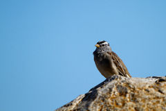 White-crowned Sparrow, Zonotrichia leucophyrus. White-crowned Sparrow on a rock beside the Pacific Coast of California Royalty Free Stock Photo