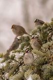 White-crowned Sparrows Royalty Free Stock Images