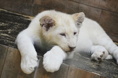 White cub Royalty Free Stock Photos