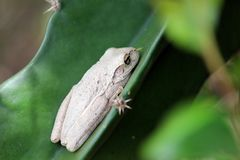 White Cuban Tree Frog Royalty Free Stock Photography