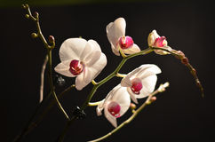 White cultivated orchid isolated over black background Royalty Free Stock Photos
