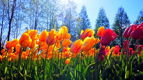 Blossoming pink tulips on the field. Blooming tulips on a field. shooting in the backlight stock footage