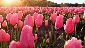 Field with pink tulips stock footage