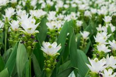 White curcuma flowers or siam tulip flower in the plantation garden or park for decorate landscape area or gardening of house Royalty Free Stock Photos