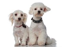 White curious bichon couple looking to side Royalty Free Stock Image