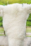 White curled sheep fur Royalty Free Stock Photography