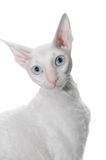 White curly cat royalty free stock photos