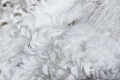 White curly feathers texture for background Stock Image
