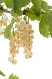 White currant. Stock Photo