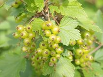 White Currant. In a bush with leaves Royalty Free Stock Photography