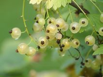 White Currant. Ripe with many berries Stock Image
