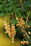 White currant Stock Image
