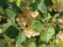 White currant. The image of a white currant - clusters of berries and leaves Royalty Free Stock Photo