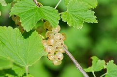 White currant Royalty Free Stock Images