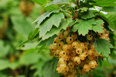 Free White Currant Stock Image - 32490511