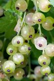 White Currant Berries Stock Photo