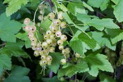 White currant berries Stock Photography