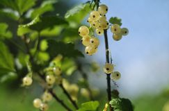 White currant berries on a branch. On a green backgroundnn royalty free stock image