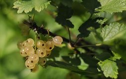 White currant berries on a branch. On a green backgroundnn stock photos