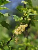 White currant berries on a branch. On a green backgroundnn stock image