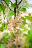 White currant bush with berries stock photos