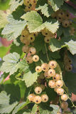 White currant berries close up Stock Image