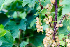White currant on a branch Stock Images