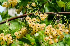 White currant. Branch juicy ripe white currants on green bush Royalty Free Stock Photo