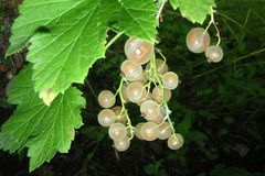 White currant on a branch Royalty Free Stock Photos