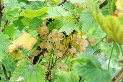 White currant on a bush royalty free stock images