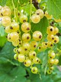 White currant stock images