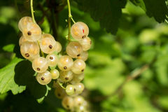White currant closeup Stock Images