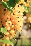 White currant fruit Stock Images