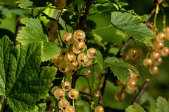 White currant. Garden berry. Royalty Free Stock Photography